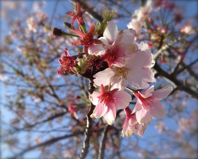 (桜の)花はどこへいった